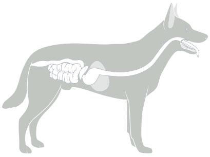 Verdauung Hund